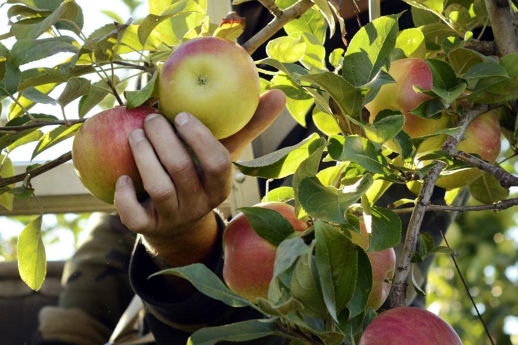 the fall apple harvest